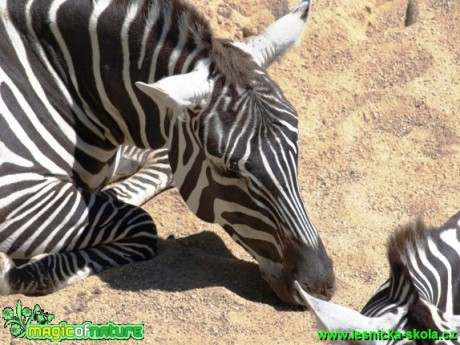 Zebra sp. - Foto David Hlinka (2)
