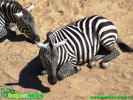 Zebra sp. - Foto David Hlinka (3)