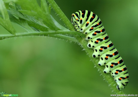 Caterpillar - Papilio machaon - Foto Angelika Špicarová
