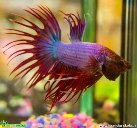 Bojovnice pestrá - Betta splendens - Foto David Hlinka (1)