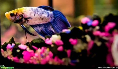 Bojovnice pestrá - Betta splendens - Foto David Hlinka